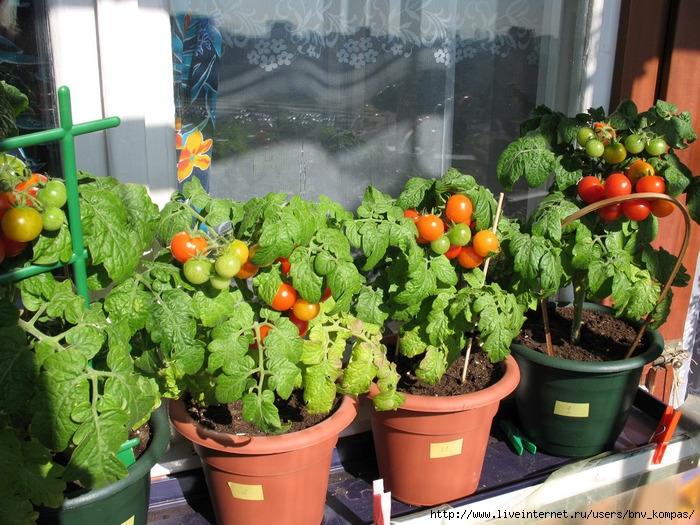 Помидоры на балконе: сорта, выращивание пошагово инструкция .