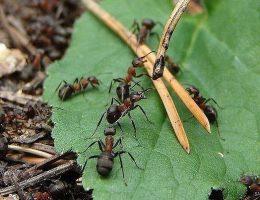 Миниатюра к статье Выгнала муравьев с огорода за 2 часа! Сама удивилась…