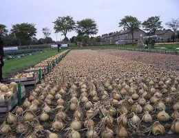 Миниатюра к статье Не пробовали посадить лук китайским способом?