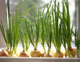 Миниатюра к статье Самый чудный способ выращивания лука. Земля здесь не нужна!