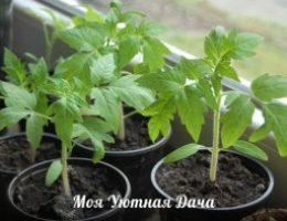 Миниатюра к статье 11 «нельзя» при выращивании рассады томатов
