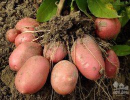 Миниатюра к статье 7 способов выращивания картофеля