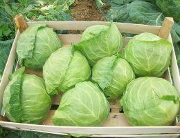 Миниатюра к статье Как получить небывалый урожай капусты. Проверено практикой