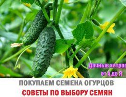 Миниатюра к статье Покупаем семена огурцов