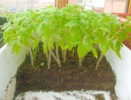 Миниатюра к статье Простой и не трудоемкий способ вырастить рассаду