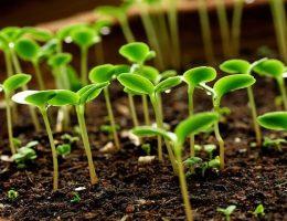 Миниатюра к статье Семена сажаем в кипяток