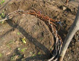 Миниатюра к статье Как правильно обрезать и укрывать виноград на зиму