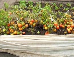 Миниатюра к статье Как получить урожай помидоров, которым можно удивить всех?
