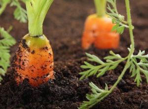 vyrashchivanie-morkovi